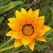 PICT14765ac Perfect Gazania