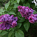 P4250113ac Home Garden Lilacs Bunches