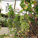 Euphorbia millii sous un Dombeya