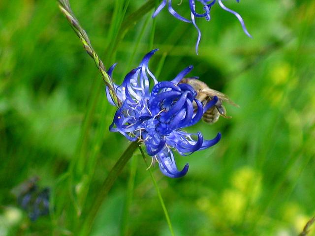 halbkugelige Teufelskralle und Biene