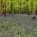 P5011243ac A Sea of Spring Wild Blue Bells