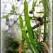 Homalocladium- Polygonacées