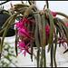 Aporocactus flagelliformis (2)
