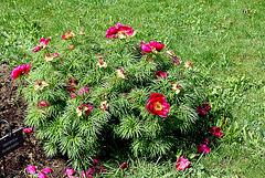 Paeonia tenuifolia (2)