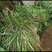 Bilbergia nutans  (2)