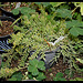 Rhipsalis mesembryanthemoïdes