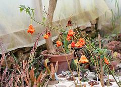 Piment en fruits- Capsicum baccatum