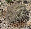 Mecca Hills - Unidentified Desert Plant (3536)