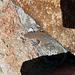 Barker Ranch - Lizard (3222)