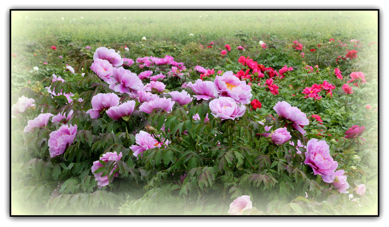 Pivoine arbustive rose  (2)