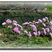 Pivoine arbustive rose
