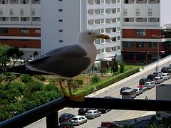 Algarve, Praia da Rocha, seagull at the balcony
