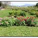 Pivoines herbacées botaniques