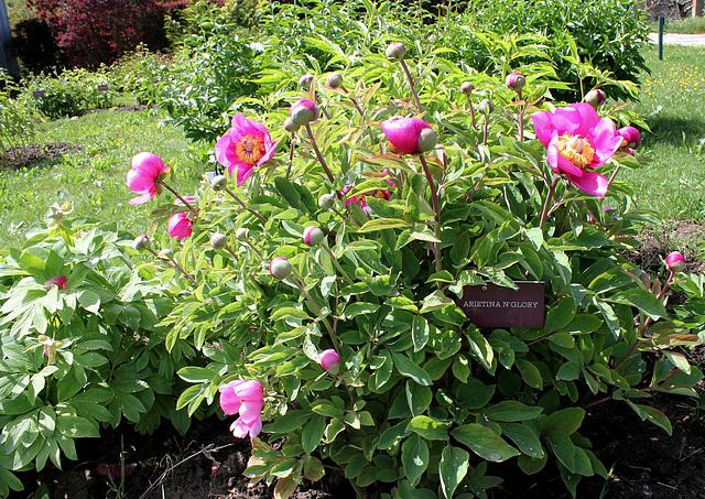 Paeonia arietina 'N'Glory'