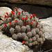 Cactus in Joshua Tree (4597)