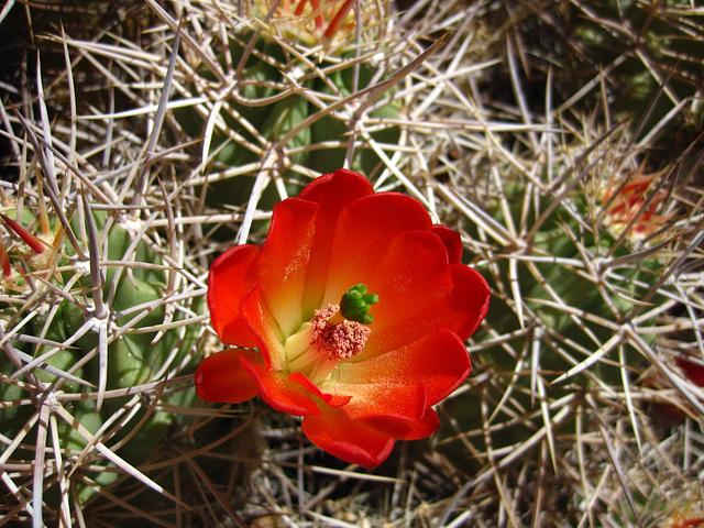 Cactus in Joshua Tree (4598)