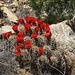 Cactus in Joshua Tree (4599)