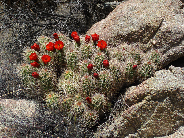 Cactus in Joshua Tree (4601)