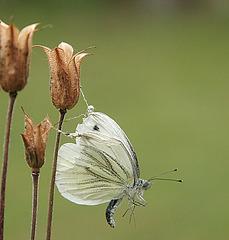 papillon ligoté...par l'araignée