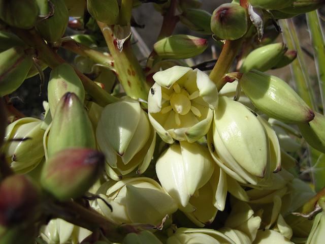 Yucca Bloom (4588)