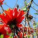 Tulpenbaum  auf La Palma
