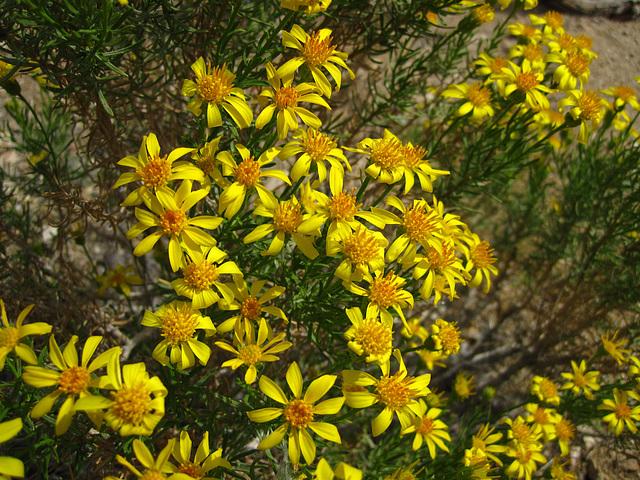 Flowers in Joshua Tree (4586)