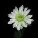 Cereus (0800)