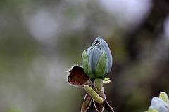 Magnolia acuminata Acci