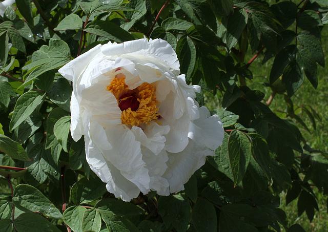 Pivoine arbustive blanche