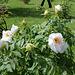 Pivoine arbustive blanche  (2)