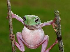 Pierre Chêne chante : La Grenouille verte