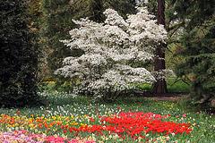 weisse Magnolie und Tulpenwiese