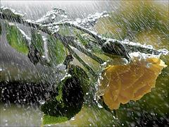 Rose sous la pluie de Laval