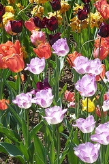 Tulpen in Wehlen - Sachsen