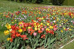 Tulpen in Wehlen
