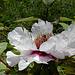 Paeonia suffruticosa papaveracea (2)