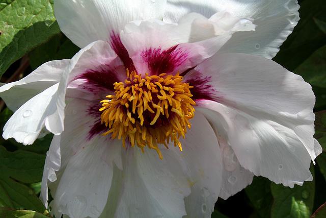 Paeonia suffruticosa papaveracea (3)