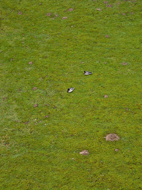 Ente mit Grünzeug