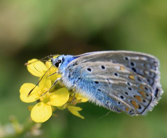 La blua papilio (fotis Kaunos)