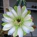 Cereus (0836)
