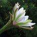 Cereus (0838)