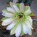 Cereus (0840)
