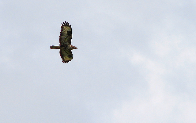 tardebigge buzzard 6july 040
