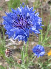 Bleuet - Kornblume