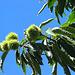 Maronen - chestnuts - la castana