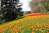 Farben sind das Lächeln der Natur - Tulpenwiese auf der Insel Mainau