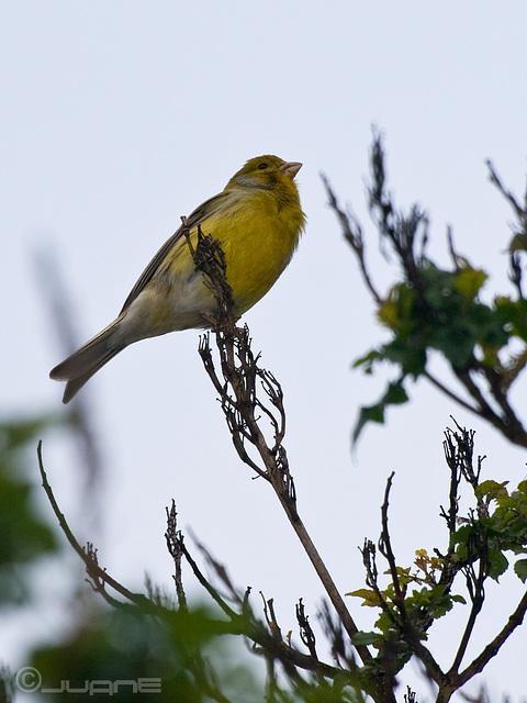 Canario silvestre (Macho), serinus canarius
