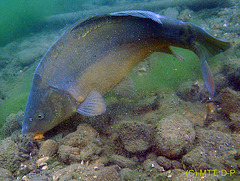 Mirror carp at lunch