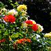 Roses in the backyard