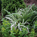 Hémérocalle variegata